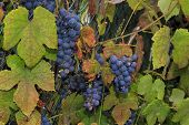 Growing Wine Grapes Hanging From The Stem, Surrounded By Colourful, Beautiful Leaves
