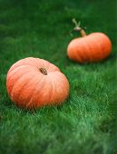 Two Pumpkins On Grass