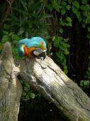 Tourquoise Parrot