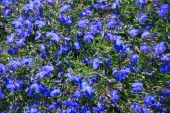 pic of lobelia  - Lobelia erinus blue flower background with sunlight.