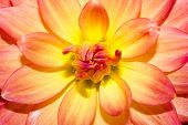 picture of horticulture  - The Dahlia flower consists of numerous delicate petals that encircle a central yellow core