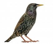 Side view of a Common Starling, Sturnus vulgaris, isolated on white