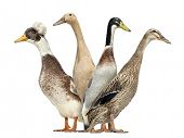foto of crested duck  - Side view of a Group of Ducks looking left and right - JPG