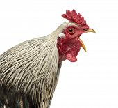 Close up of a Brahma rooster crowing, isolated on white