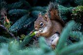 Red Squirrel from Campobello Island, Canada