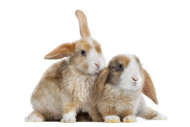 pic of dwarf rabbit  - Two Satin Mini Lop rabbits next to each other - JPG
