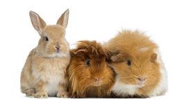 foto of dwarf rabbit  - Dwarf rabbit and Guinea Pigs - JPG