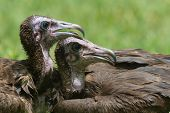 Two Hooded Vultures Resting Beside Each Other