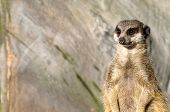 Single Funny Looking Meerkat (aka Suricate)