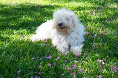 Cute Young Dog Komondor Lying On A Flowering Meadow