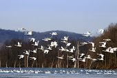 Tundra Swans Flying From Lake