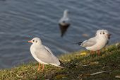 pic of flock seagulls  - white seagulls on the grass near the shore - JPG