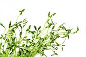 Green young pea sprouts isolated on white background