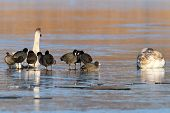 stock photo of frozen food  - coots and swans  - JPG