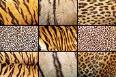 stock photo of tigers  - tiger and leopard different real patterns in single collection - JPG