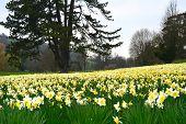A field of daffodils.
