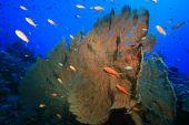 image of molly  - Giant Sea Fan  - JPG
