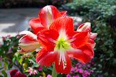 Amaryllis Hippeastrum Flower In Garden