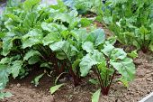 Beetroot Plants.