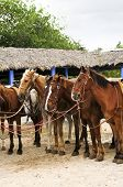 Horses ready to be ridden at Caribbean beach