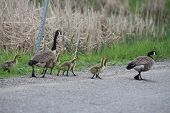 Canada Geese and Goslings on Roadway