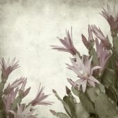 picture of schlumbergera  - textured old paper background with Christmas cactus - JPG