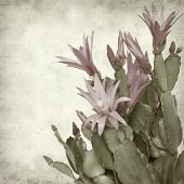 image of schlumbergera  - textured old paper background with Christmas cactus - JPG