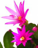 picture of schlumbergera  - Bright Magenta Christmas Cactus isolated on white - JPG