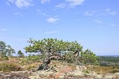 stock photo of pinus  - Out of nothing on the rock - JPG