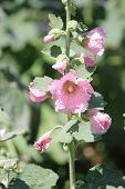 image of hollyhock  - Alcea - JPG