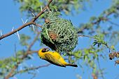 Male Southern Masked Weaver Building Nest