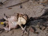 Grey Toads' Matings