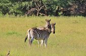 Zebra Background - Wildlife from Africa - Funny Nature.