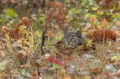 Bobcat Kitten (Lynx rufus) Hides In The Grasses