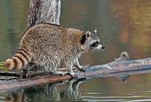 Raccoon (Procyon lotor) On Log In Pond Looks Right