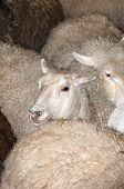 Sheep In Pen Prior To Shearing