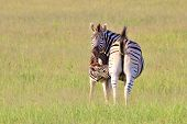 Zebra Background - Wildlife from Africa - New Life