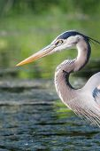 pic of low-necked  - Great Blue Heron fishing in the low lake waters - JPG