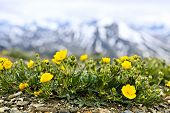 Alpine meadow with potentilla flowers blooming on Whistlers mountain in Jasper National Park, Canada