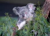 picture of eucalyptus trees  - A Koala Eucalyptus Tree in Sydney Australia [[** Note: Soft Focus at 100%, best at smaller sizes ** Note: Visible grain at 100%, best at smaller sizes - JPG