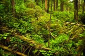 Lush foliage of temperate rain forest. Pacific Rim National Park, British Columbia Canada