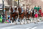Budweiser Clydesdales Strut In St. Patrick's Parade