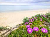 Sea fig or ice plant flowers blooming on Aegean coast in Chalkidiki, Greece