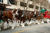 Budweiser Clydesdales Trot In St. Patrick's Parade