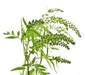 picture of ragweed  - Ragweed plant in allergy season isolated on white background - JPG