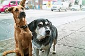Two pet dogs waiting on sidewalk on city street