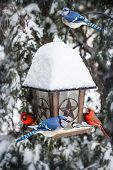 image of blue jay  - Bird feeder in winter with blue jays and cardinals - JPG