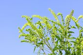 Flowering ragweed plant in closeup against blue sky, a common allergen