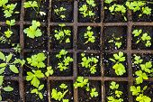 Seedlings of herbs and vegetables growing in grid starter tray