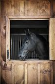 Profile of black horse looking out stable window